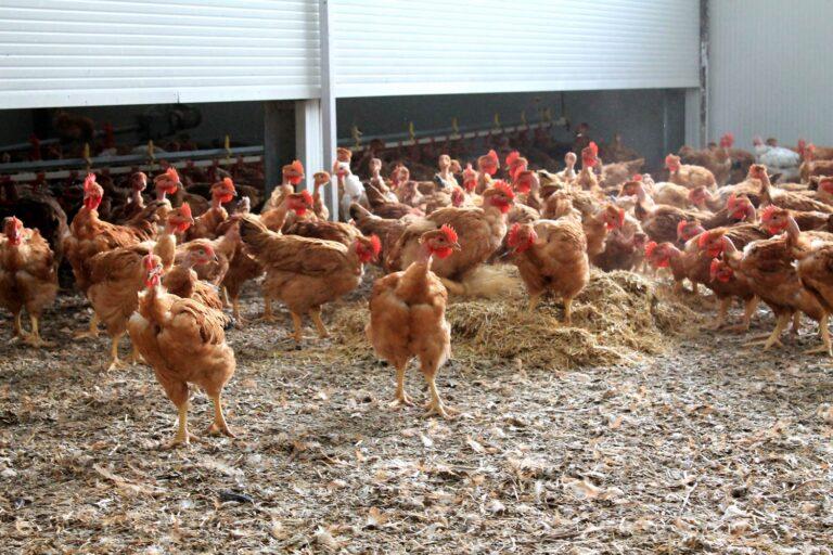 polli-dentro